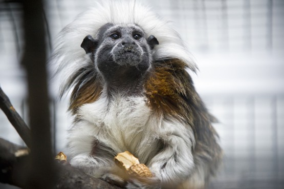 Cotton-top tamarins grew calmer after they heard music compositions based on their own calm, friendly calls. But the monkeys became more agitated when University of Wisconsin-Madison psychology professor Charles Snowdon played music that contained elements of their own threatening or fearful calls.