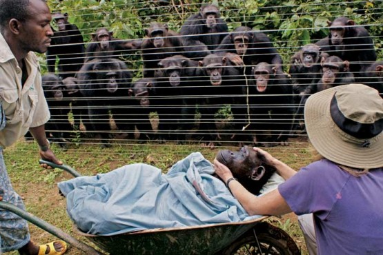story behind photo of grieving chimps dorothy dead